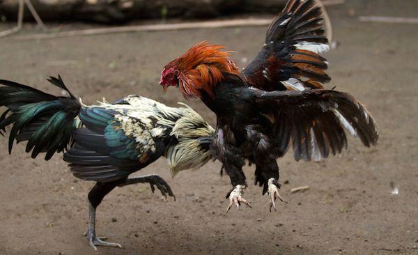 Agen Sabung Ayam Tarung Indonesia