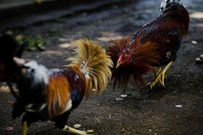 Daftar S128 sabung ayam